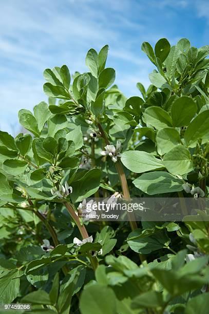 Fava Beanstalk
