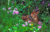 Week-old whitetail deer fawn laying among wildflowers. MT.