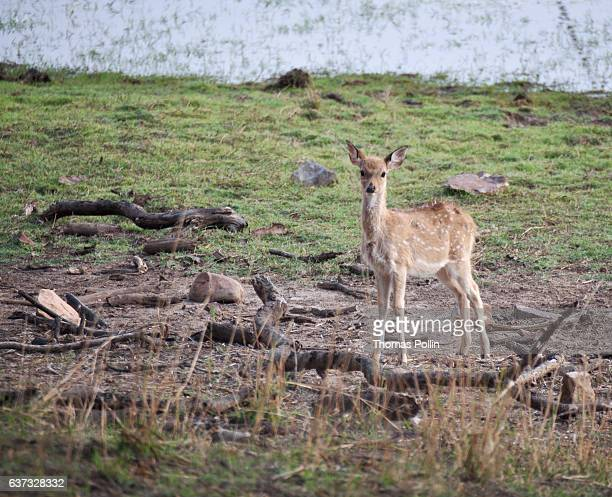 Fawn in Ranthambore National Park