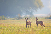 Fawn of the roe deer in the meadow