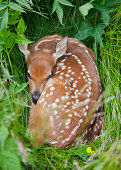 White-tailed Deer Fawn (Odocoileus virginianus) hiding in tall grass