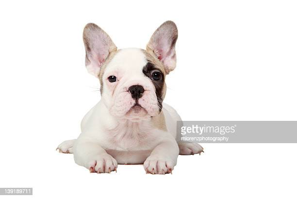 Fawn Pied French Bulldog puppy