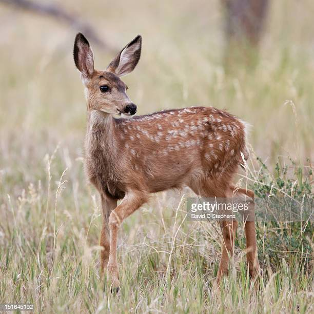 Fawn poses
