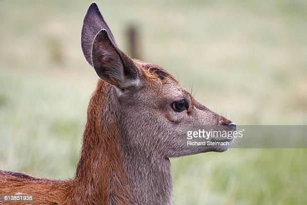 Fawn, Red Deer, Scotland