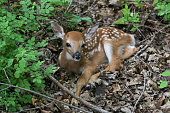 A fawn resting in the woods.