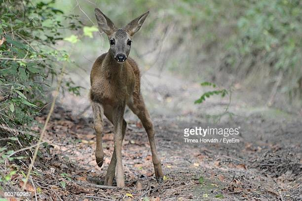 Fawn Standing On Pathway By Plants In Forest