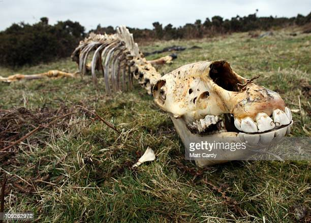 Faye Stacey a pony welfare officer for the charity South West Equine Protection inspects the carcass of dead pony that has fallen on Bodmin Moor on...
