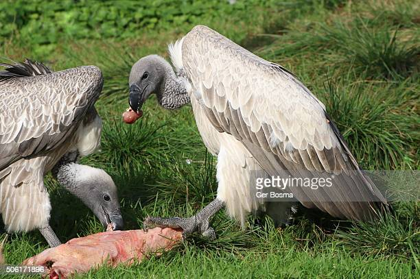 Feasting African White backed Vultures