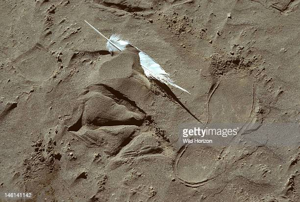 Feather and footprint of a great white pelican next to shoeprints of an adult human for size comparison Pelicanus onocrotalus Lake Nakuru National...