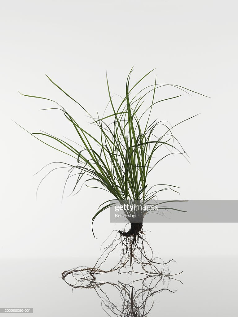 Feather grass (Stipa tenuissima) seedling on white background : Stock Photo