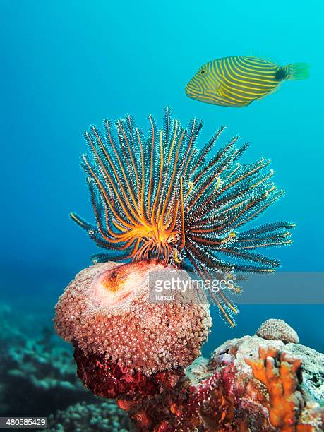 Feather Star and Striped Trigger Fish