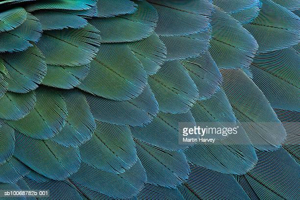 Feathers of Blue and Gold macaw (Ara ararauna), extreme close-up