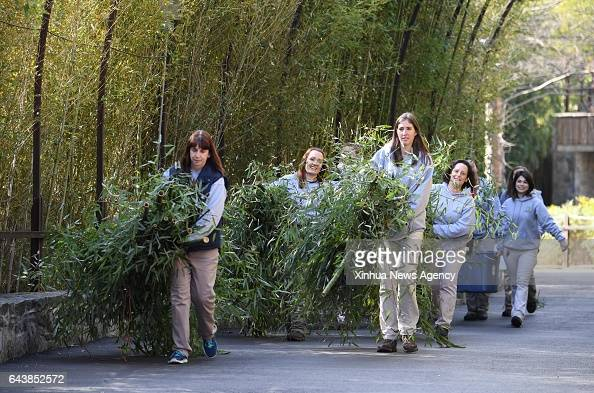 C Feb 21 2017 Animal keepers of Smithsonian's National Zoo carry bamboo for giant panda Bao Bao's inflight meal as she leaves the zoo en route back...