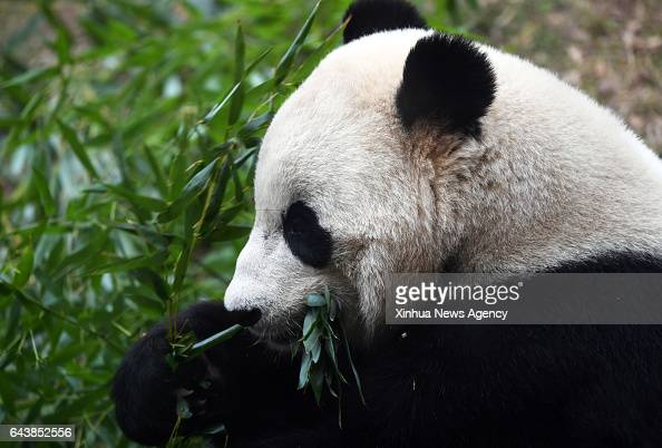 C Feb 21 2017 Giant panda Bao Bao eats bamboo before leaving the zoo in Washington DC the United States Feb 21 2017 Americanborn giant panda Bao Bao...