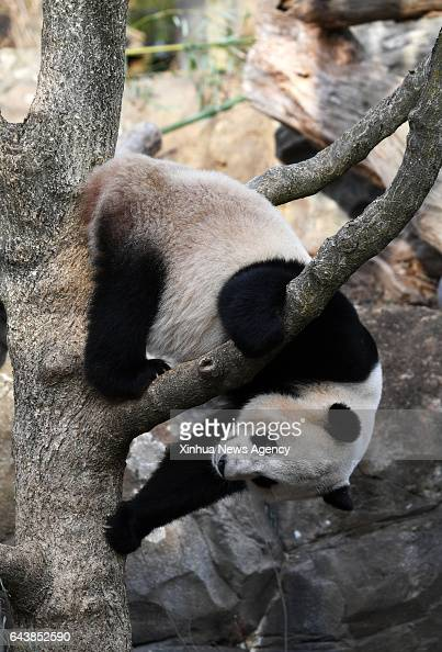 C Feb 21 2017 Giant panda Bao Bao plays before leaving the zoo en route back to China in Washington DC the United States Feb 21 2017 Americanborn...
