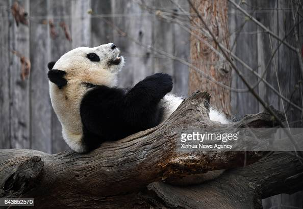 C Feb 21 2017 Giant panda Bao Bao plays before leaving the zoo in Washington DC the United States Feb 21 2017 Americanborn giant panda Bao Bao will...