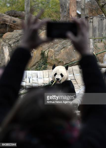 C Feb 21 2017 Reporters take pictures and video of giant panda Bao Bao before she leavs the zoo in Washington DC the United States Feb 21 2017...