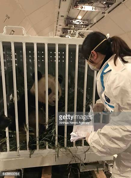 CHENGDU Feb 22 2017 A staff member of Sichuan EntryExit Inspection and Quarantine Bureau checks the condition of giant panda Bao Bao at Chengdu...