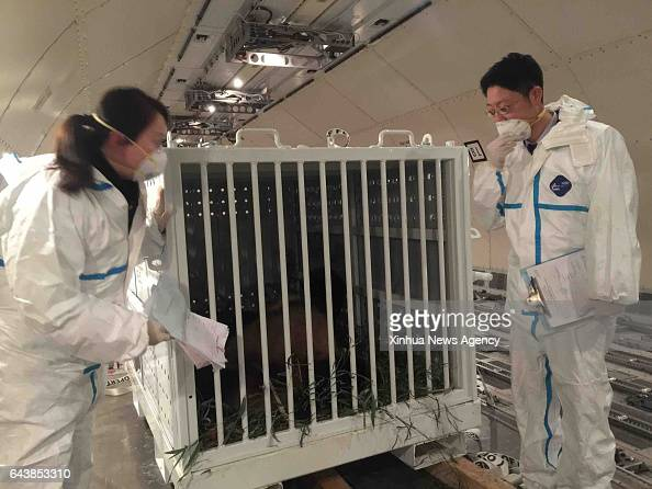 CHENGDU Feb 22 2017 Staff members of Sichuan EntryExit Inspection and Quarantine Bureau check the condition of giant panda Bao Bao at Chengdu...