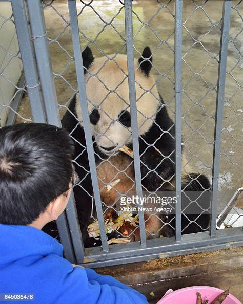 DUJIANGYAN Feb 23 2017 A keeper takes care of giant panda Bao Bao at the Dujiangyan base of the China Conservation and Research Center for the Giant...