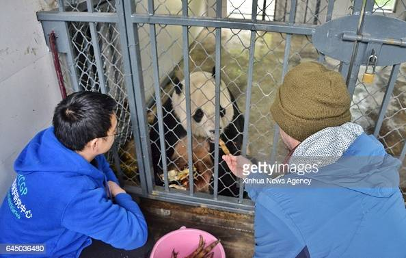 DUJIANGYAN Feb 23 2017 Keepers take care of giant panda Bao Bao at the Dujiangyan base of the China Conservation and Research Center for the Giant...