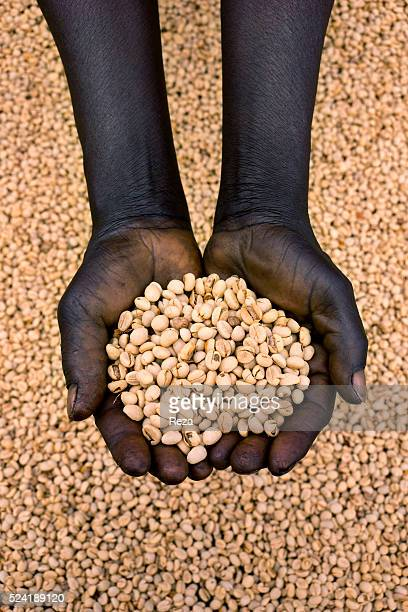 February 2013 South Sudan Hands filled with coffee beans Farms connected with the Nespresso AAA Sustainable Development program