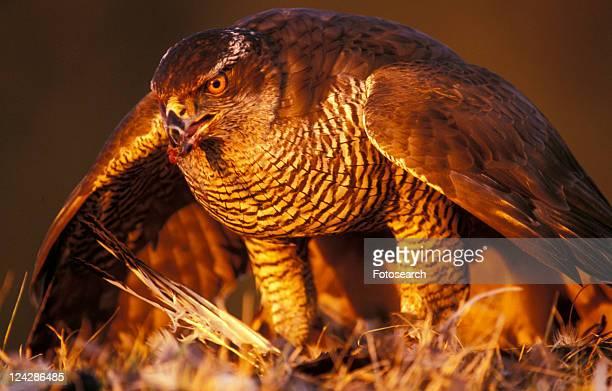 federn, abenddaemmerung, accipiter, animals, aves