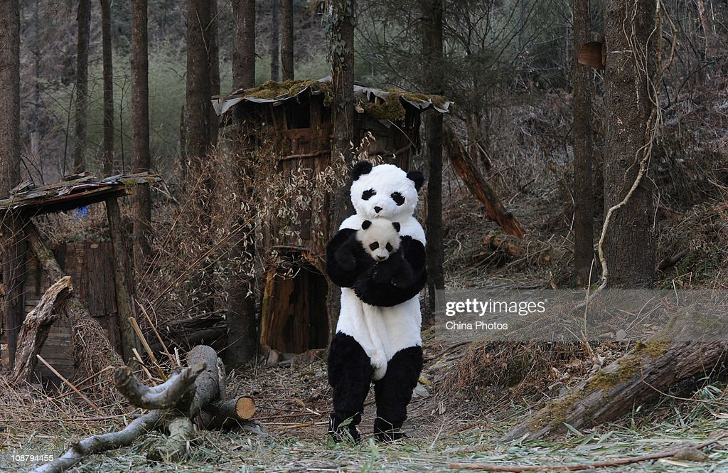 A feeder dressed as panda hugs a giant panda for a physical examination at the China Conservation and Research Center for the Giant Panda on February...