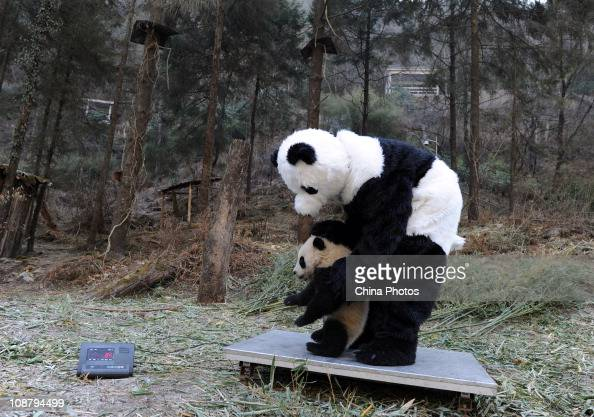 A feeder dressed as panda weighs a giant panda at the China Conservation and Research Center for the Giant Panda on February 3 2011 in Wolong Nature...