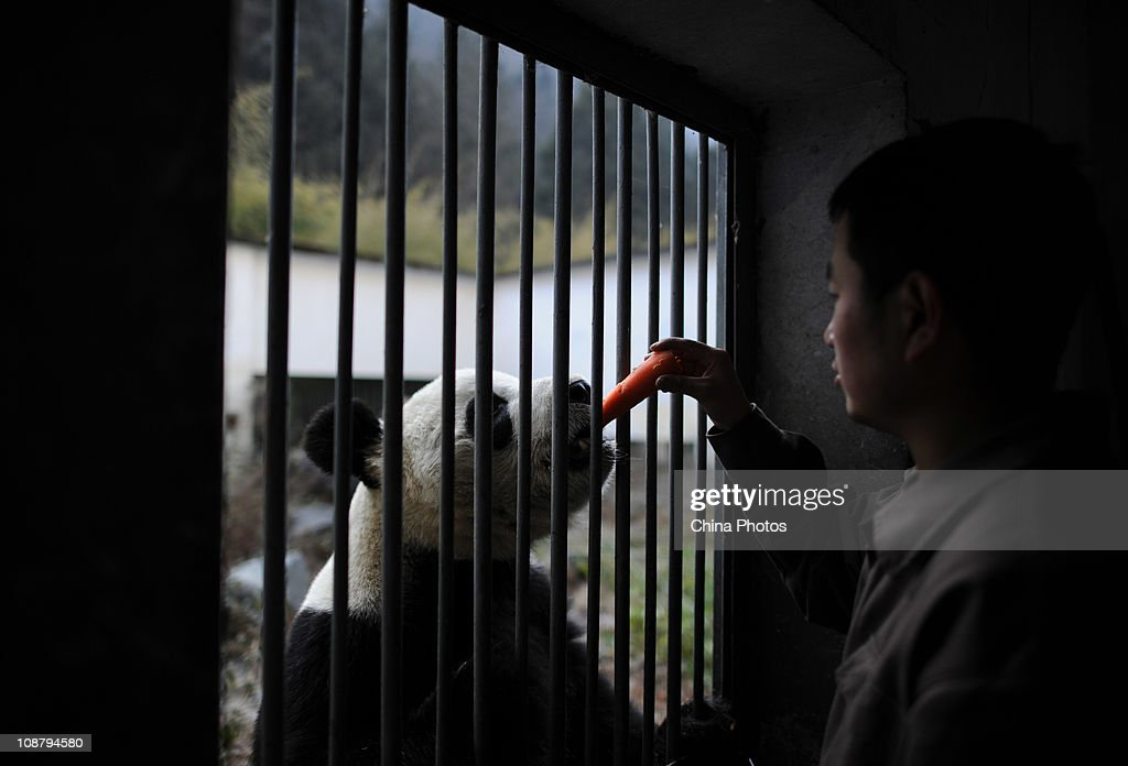 A feeder feeds a giant panda at the China Conservation and Research Center for the Giant Panda on February 3 2011 in Wolong Nature Reserve Aba...