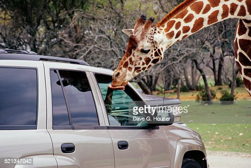 Feeding a Giraffe from a Utility Vehicle