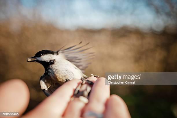 A feeding bird perched on human hand.