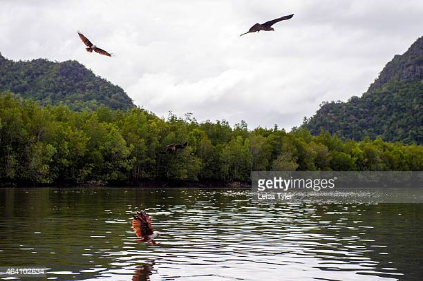 Feeding Brahminy kites also known as eagles in the Kilim Karst Geoforest Park on Langkawi an island in north West Malaysia Feeding eagles is a...