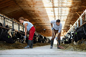 Young farmers with spades giving hay to cows in stables while working in kettlefarm