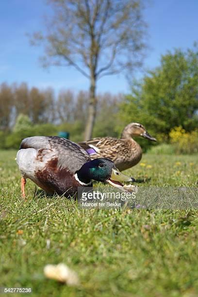 Feeding ducks in the park