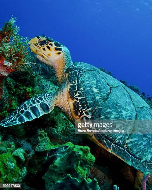 A feeding hawksbill sea turtle in Cozumel, Mexico.