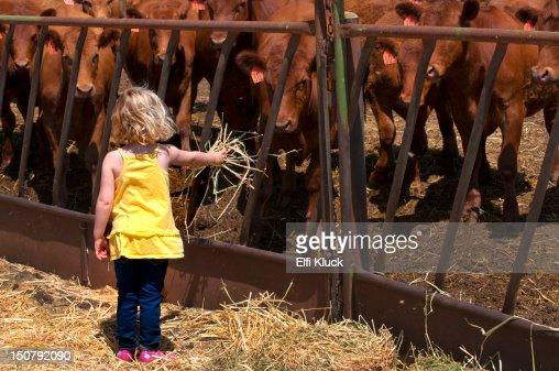 Feeding hungry Cows : Stock Photo