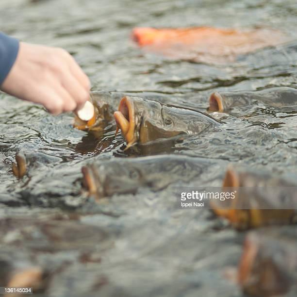 Koi Closeup Stock Photos And Pictures Getty Images