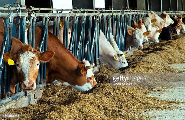 Feeding of cows