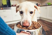 Domestic life with pet. Feeding hungry labrador retriever. The owner gives his dog a bowl of granules.