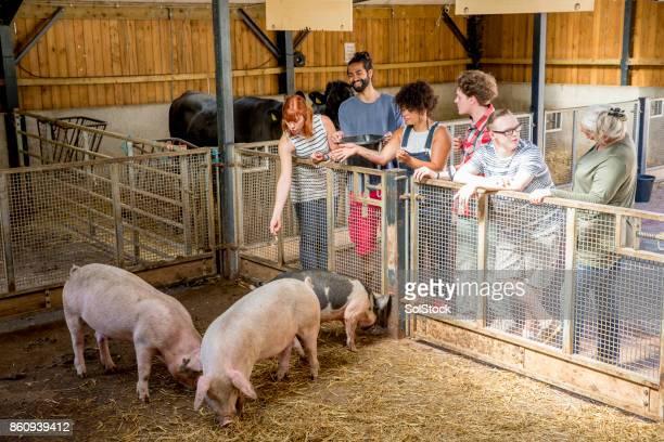 Feeding Pigs At The Farm