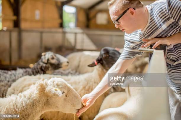 Feeding Sheep at the Farm