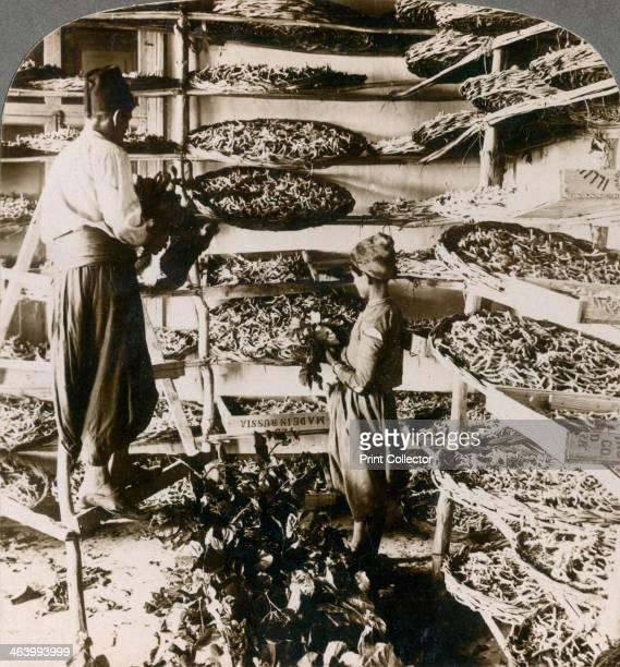 Feeding silkworms their breakfast of mulberry leaves Lebanon mountains Syria 1900s Stereoscopic slide