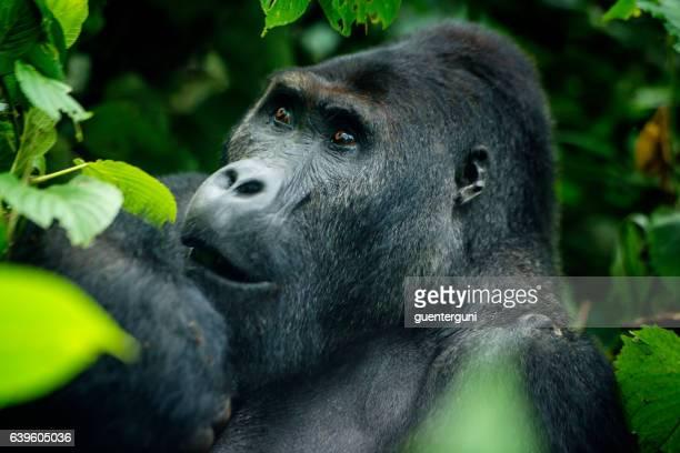 Feeding Silverback Gorilla, wildlife shot, Congo
