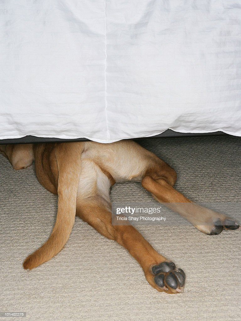 Feet and tail of yellow lab dog hidden under bed : Stock Photo