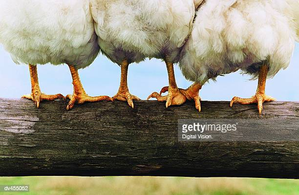 Feet of Chickens