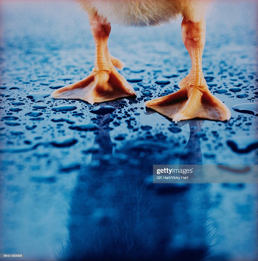 Feet of Duckling : Stock Photo