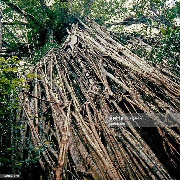 Feigenbaum mit Stuetzwurzeln Cathedral Fig Tree im Regenwald von Queensland in Australien eine baumwüuergende Feige oder Wuergefeige als Naturdenkmal...