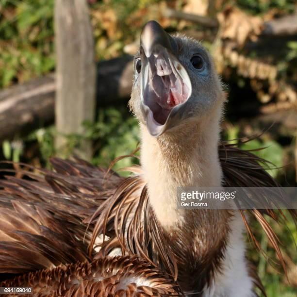 Feisty Griffon Vulture Squawking