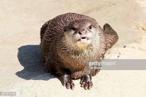 Feisty Small Clawed Otter